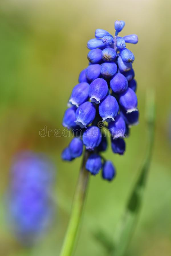 Beautiful spring blue flower grape hyacinth with sun and green grass. Macro shot of the garden with a natural blurred background. stock photos