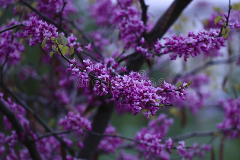 Beautiful Spring in the city. Purple and beautiful Spring in the city royalty free stock images