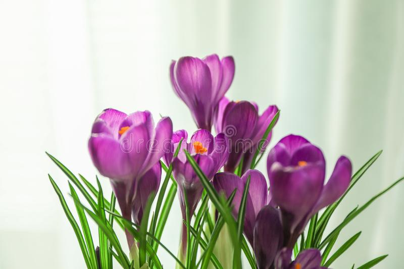 Beautiful spring crocus against light background. Space for text stock photos