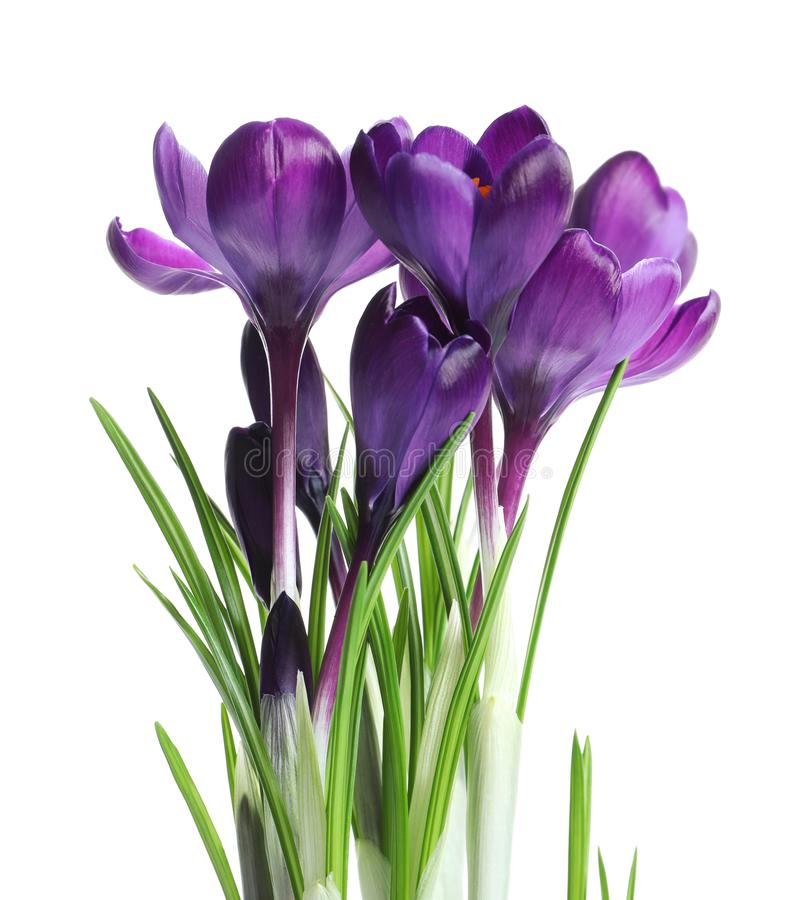Beautiful spring crocus flowers. On white background royalty free stock image