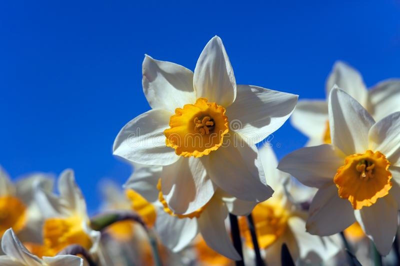 Spring daffodils against blue sky. Beautiful Spring daffodils against clear blue blue cloudless sky stock image