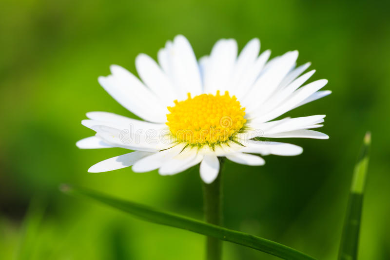 Beautiful spring daisy,floral background. Macro photography,small depth of field royalty free stock images
