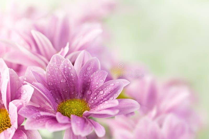 Beautiful spring daisy flowers stock image