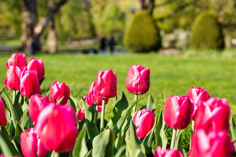 Beautiful spring day at Boston Common Park Massachusetts. Nice view at sunny day with blue sky stock image