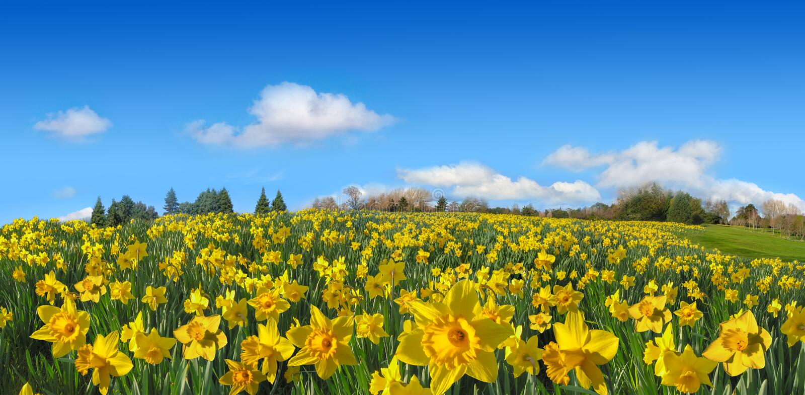 Beautiful spring field of yellow daffodils panorama in sunny day. Beautiful field of yellow daffodils and green grass panorama in sunny spring day stock photography