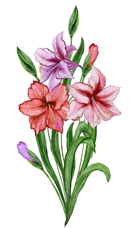 Beautiful spring floral illustration. Fresh amaryllis flowers with green leaves and closed buds isolated on white background. Watercolor painting. Hand painted stock illustration