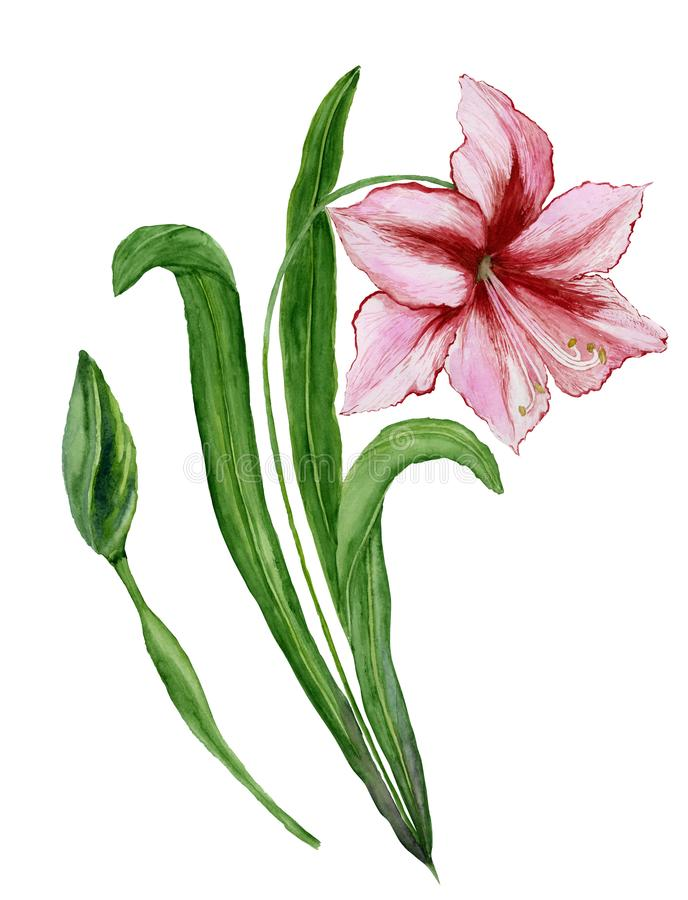 Beautiful spring floral illustration. Pink amaryllis flower on a stem with leaves and closed bud isolated on white background. Watercolor painting. Hand vector illustration