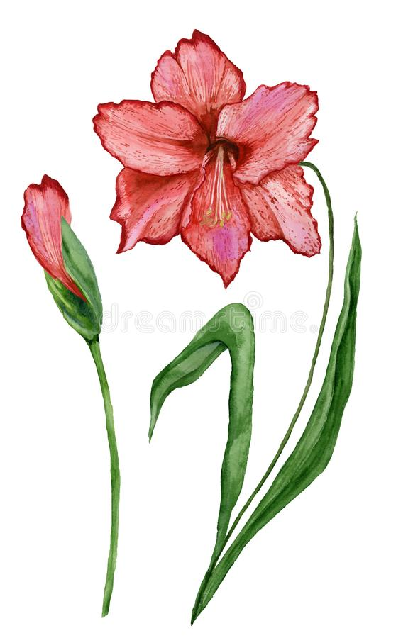 Beautiful spring floral illustration. Red amaryllis flower on a stem with leaves and closed bud isolated on white background. Watercolor painting. Hand painted royalty free illustration