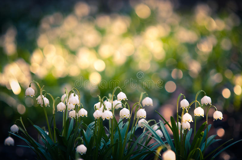 Beautiful spring flower with dreamy fantasy blurred bokeh background. Fresh outdoor nature landscape wallpaper. Leucojum vernom flower in full bloom stock photo