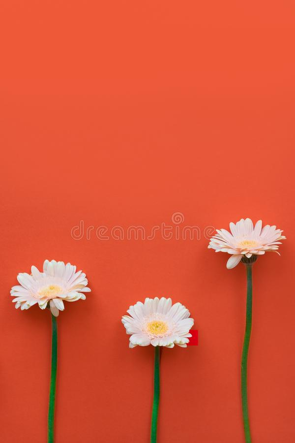 Beautiful Spring  Flower Gerber on colored background. Stylish flat lay. Minimal concept. Flat lay background. stock images