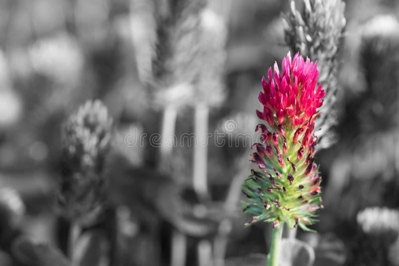 Crimson clover close-up on black and white blurred background. Trifolium incarnatum royalty free stock images