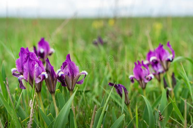 Beautiful spring flower. Wild irises blossoming, spring steppe blossoming royalty free stock photos