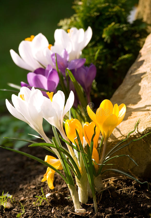 Beautiful Spring Flowers. Crocuses in the garden royalty free stock images