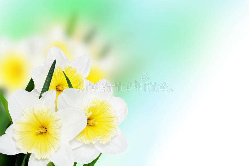 Beautiful spring flowers background -narcissus (Daffodil) . stock image