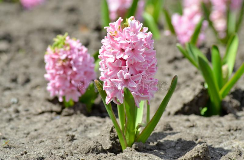Beautiful spring flowers hyacinths on a sunny warm day blooming in a city flowerbed. Beautiful spring flowers hyacinths on a sunny warm day blooming on a city royalty free stock photography