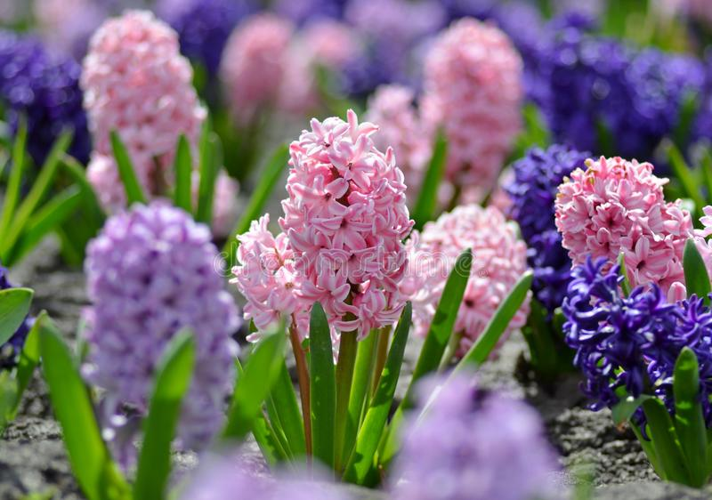 Beautiful spring flowers hyacinths on a sunny warm day blooming in a city flowerbed.  stock photography