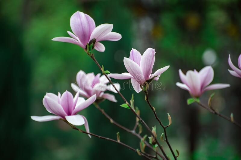 Beautiful spring flowers of Magnolia. Spring has come. Botanical garden.  royalty free stock photo