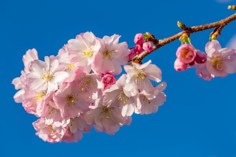 Beautiful spring flowers in an orchard. A branch of cherry blossoms. Blooming cherry tree in springtime. Beautiful spring flowers in an orchard. Nature royalty free stock image