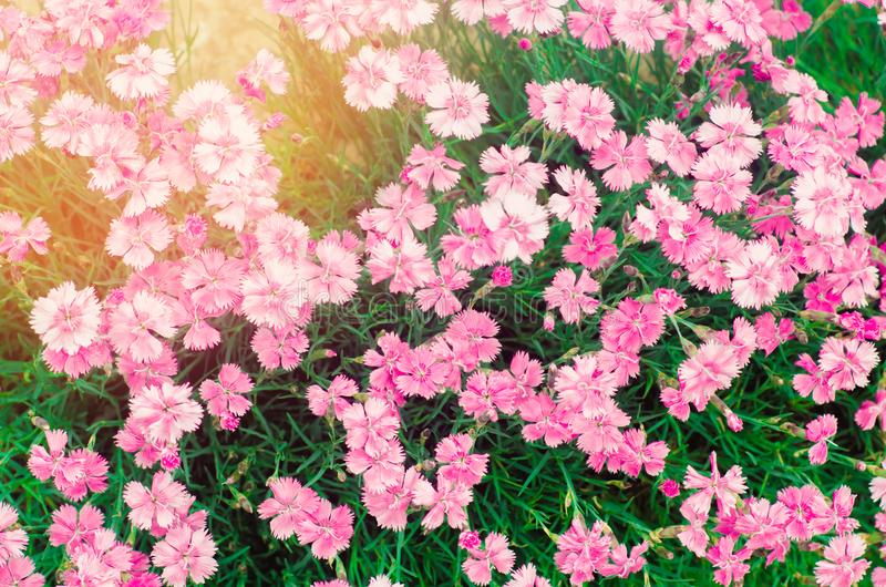 Beautiful spring flowers Rose Maiden Pinks growing in the garden on a sunny day, background for design, natural wallpaper stock images