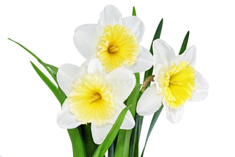 Beautiful spring flowers : yellow-white narcissus (Daffodil). Beautiful spring flowers: yellow-white narcissus (Daffodil). Isolated over white stock image