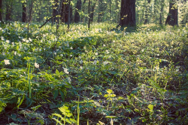Beautiful spring forest and snowdrops, glade. Wild forest at beautiful day stock photography