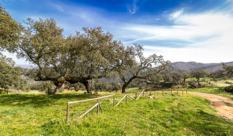 Beautiful spring holm oak tree forest with blue sky stock photography