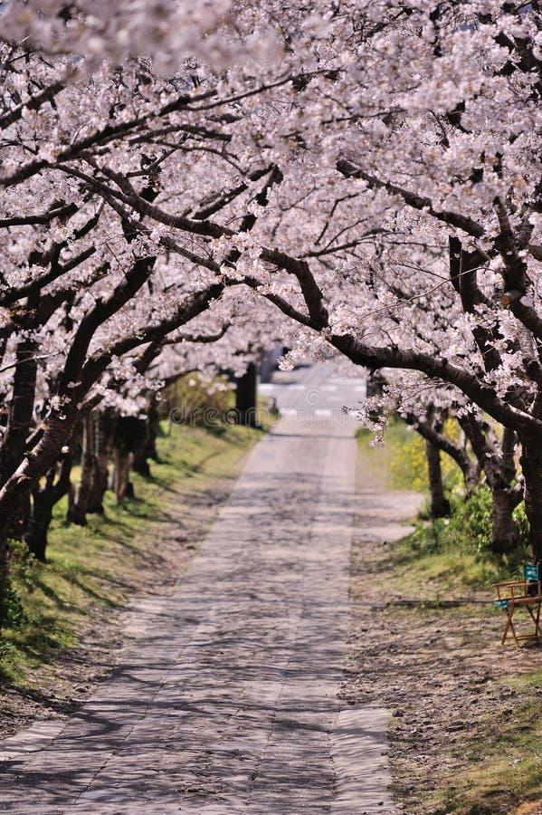 Arch of sakura blossom stock photo
