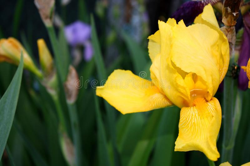 Beautiful spring Iris bloom on a sunny day on a spring. Beautiful spring Iris bloom on a sunny day on a bright sunny day in spring royalty free stock photography