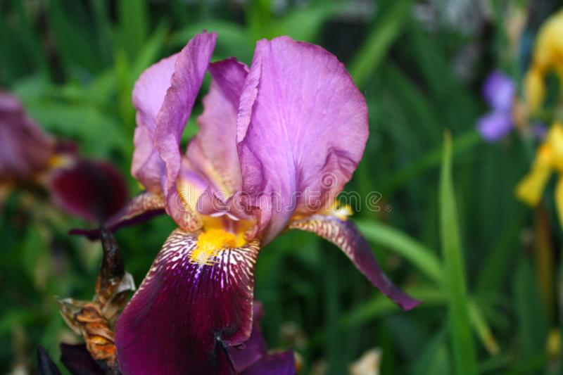 Beautiful spring  Iris bloom on a sunny day.  stock photography