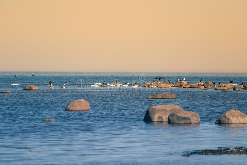 A beautiful spring landscape at the beach with a colony of birds. Swans, cormorants, gulls relaxing on the stones at the beach. Seaside scenery royalty free stock photo