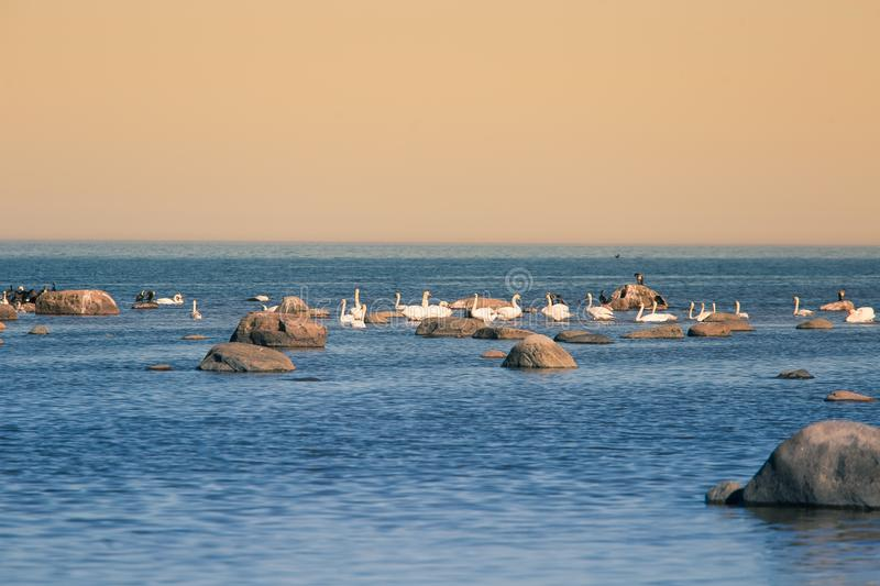 A beautiful spring landscape at the beach with a colony of birds. Swans, cormorants, gulls relaxing on the stones at the beach. Seaside scenery stock images