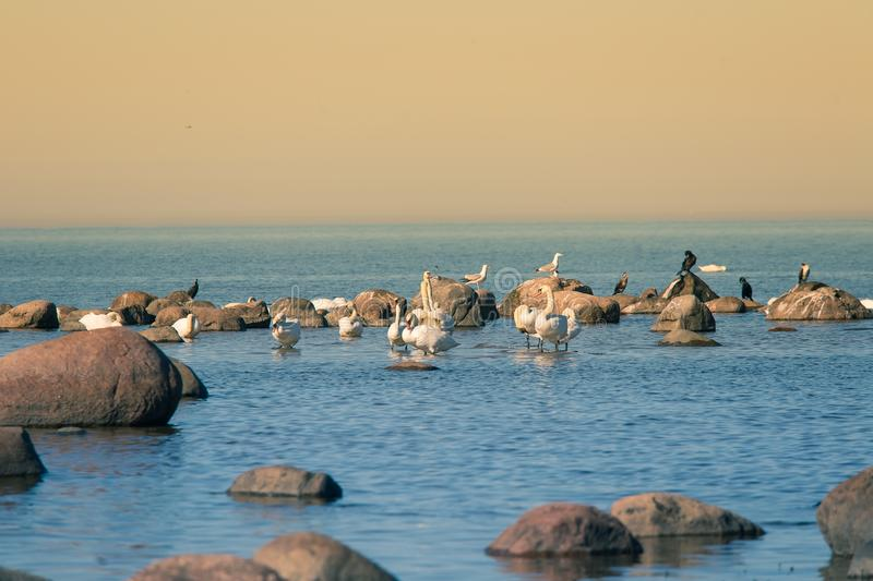 A beautiful spring landscape at the beach with a colony of birds. Swans, cormorants, gulls relaxing on the stones at the beach. Seaside scenery stock photography