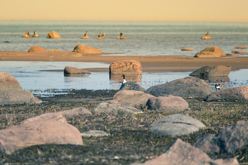 A beautiful spring landscape at the beach with a colony of birds. Swans, cormorants, gulls relaxing on the stones at the beach. Seaside scenery stock image