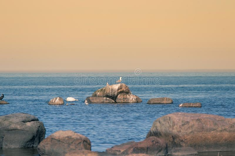 A beautiful spring landscape at the beach with a colony of birds. Swans, cormorants, gulls relaxing on the stones at the beach. Seaside scenery royalty free stock image