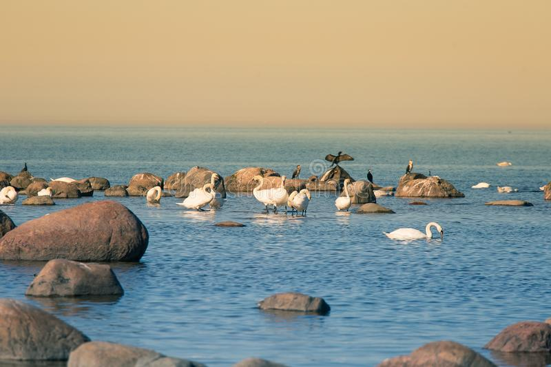 A beautiful spring landscape at the beach with a colony of birds. Swans, cormorants, gulls relaxing on the stones at the beach. Seaside scenery royalty free stock images