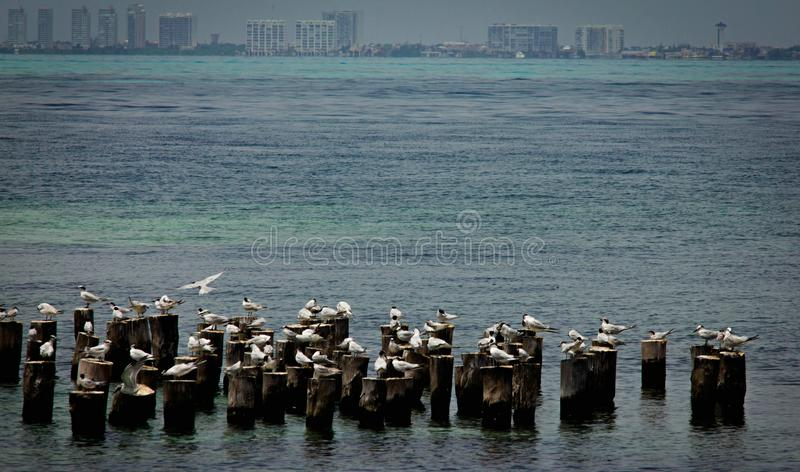 A beautiful spring landscape at the beach with a colony of birds. Swans, cormorants, gulls relaxing on the wood at the beach. La. Rge, many royalty free stock photos
