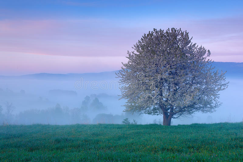 Beautiful spring in landscape. Foggy summer morning in the mountains. Blooming tree on the hill with fog. Tree from Sumava mountai royalty free stock image