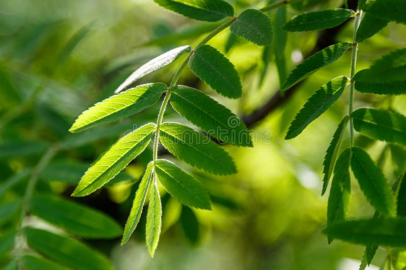 Beautiful spring leaves of trees in the sun`s rays macro. Close up royalty free stock image