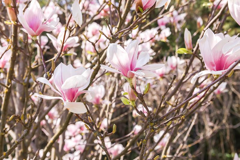 Beautiful spring magnolia tree blossom in park royalty free stock photo