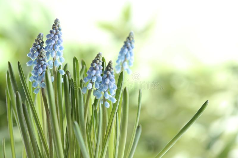 Beautiful spring muscari flowers on blurred background. Space for text stock photography