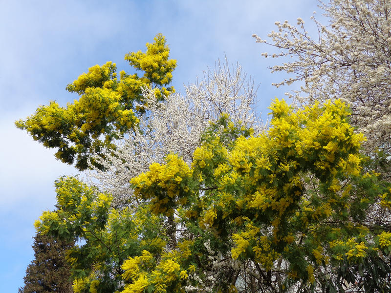 Beautiful spring nature, blooming mimosa and fruit trees. Beautiful spring nature, blooming mimosa yellow and white flowers of fruit trees against blue sky stock image