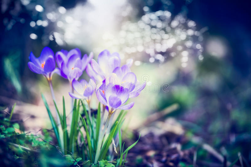 Beautiful spring nature scene with crocuses flowers and bokeh flare download beautiful spring nature scene with crocuses flowers and bokeh flare spring day stock mightylinksfo