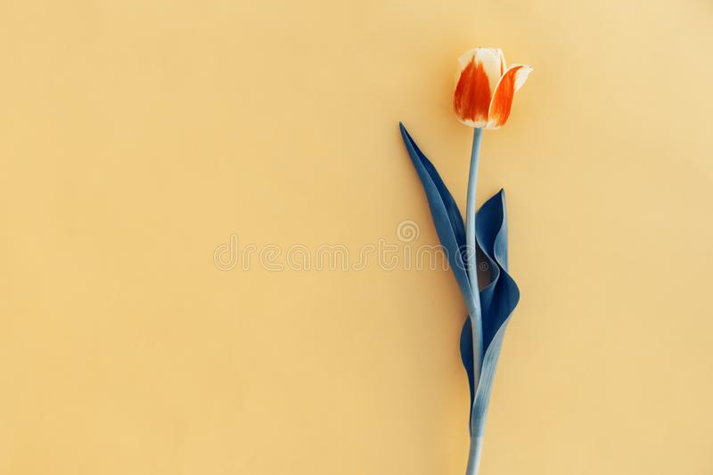 Beautiful spring pink tulip floral yellow color background with copy space. Top view. Objects on a simple background. Toned in blu. E stock photos