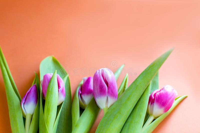 Beautiful spring pink tulips on an orange background. Spring fragrance. March 8 royalty free stock photos