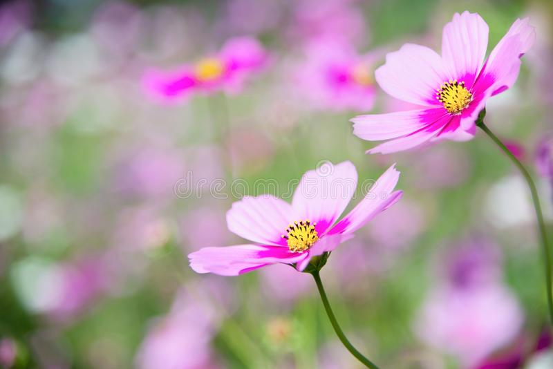 Beautiful spring purple cosmos flowers in green garden background stock image