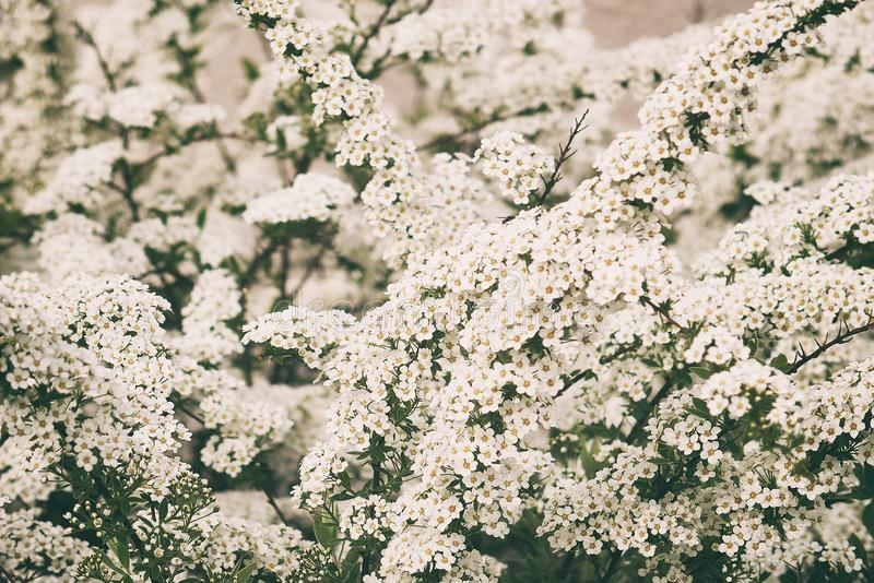 A l spring shrub with small delicate delicate white flowers stock a beautiful spring shrub with small delicate delicate white flowers mightylinksfo