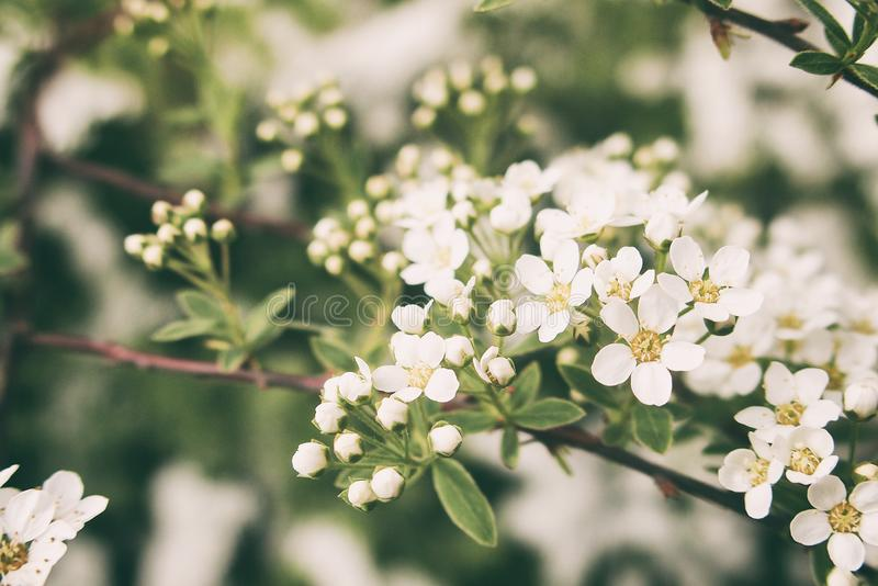 A l spring shrub with small delicate delicate white flowers stock download a l spring shrub with small delicate delicate white flowers stock image image of plant mightylinksfo