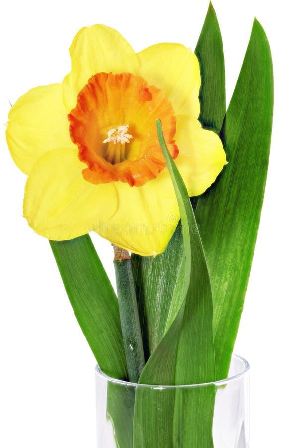 Beautiful spring single flower: orange narcissus (Daffodil) royalty free stock photos