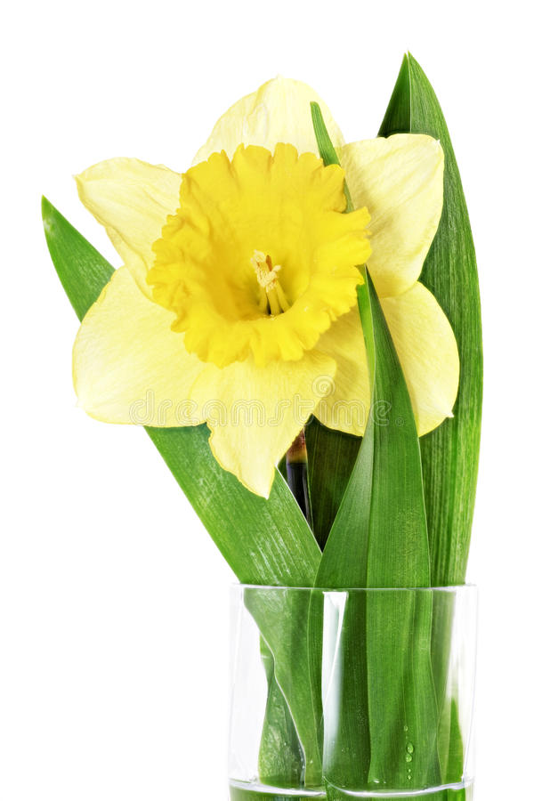 Beautiful spring single flower: yellow narcissus (Daffodil) stock photos