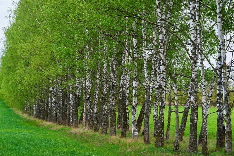 Beautiful spring or summer landscape of birch grove stock photography